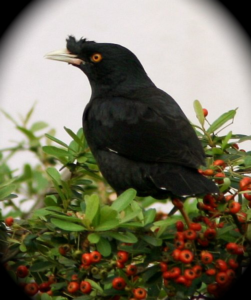 Myna Bird in Nanjing China makes cat sounds to scare ... - photo#38