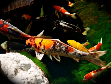 fish-carp-Koi-Nishikigoi-in-Japanese-Garden-Balboa-Park-San-Diego-California-2-MB